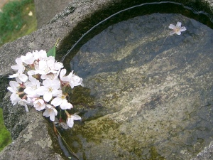 Kenrokuen cherry blossoms and water
