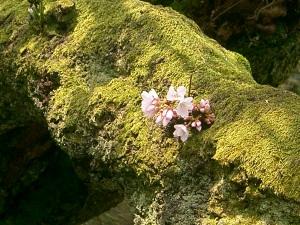 Kenrokuen cherry blossoms